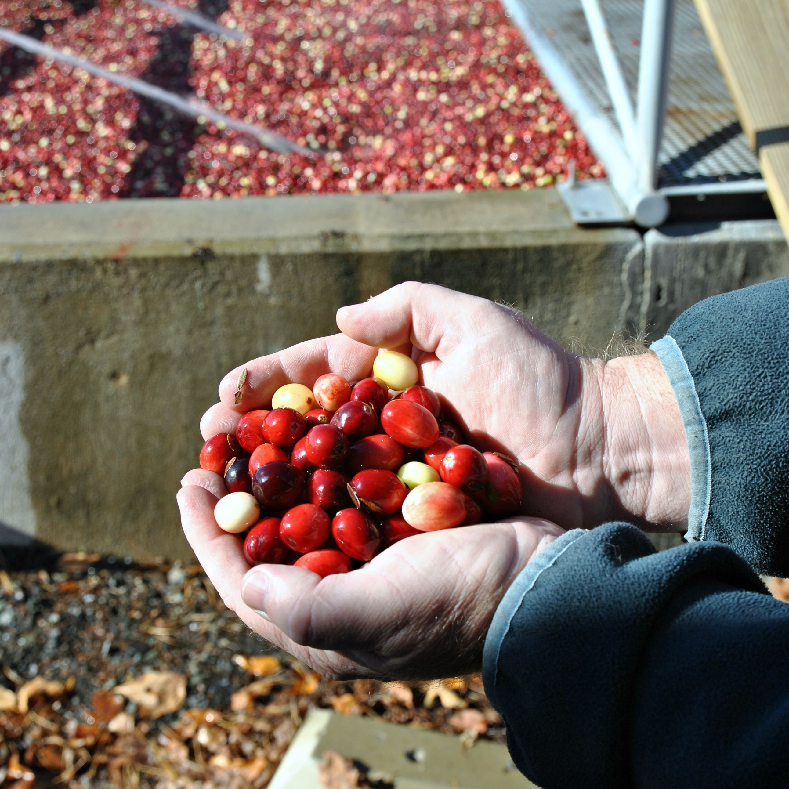 Stunning, reliable cranberries are steeped in Thanksgiving's heritage